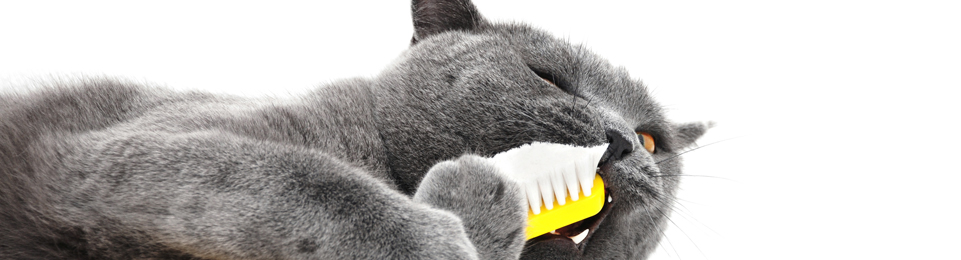 Dental - Grey Cat Right