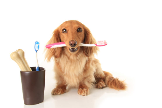 dachs and toothbrush